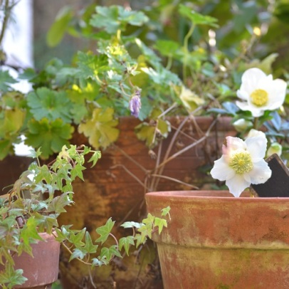 rose de Noël en pot