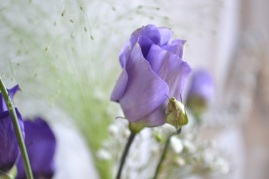fleur de Lisianthus mauve