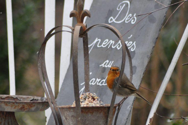 rouge-gorge et des pensées au jardin