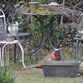 un faisan au jardin