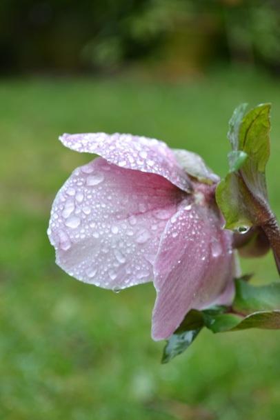 bouton d'hellebore après la pluie