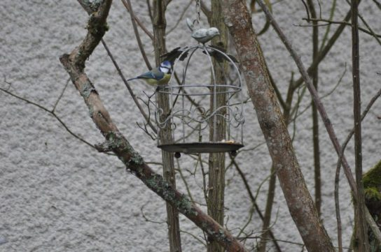 mésange bleue cage