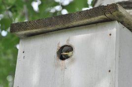 mésange sortant la tête du nid