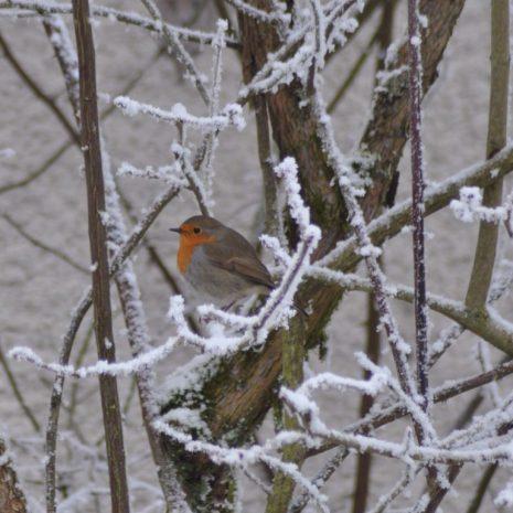 sous la neige rouge-gorge
