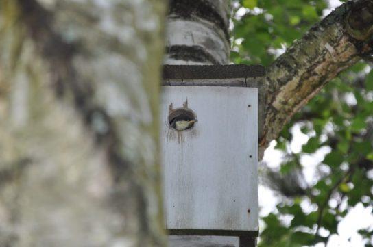 une tête sort du nid mésange