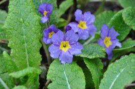 primevères violettes