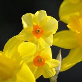 jaune or