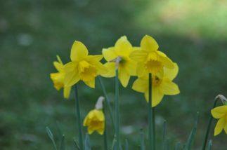 narcisses trompettes jaunes