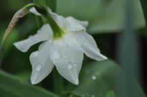 pluie sur une narcisse larme d'ange