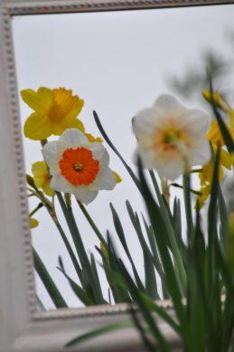 Narcisses au miroir