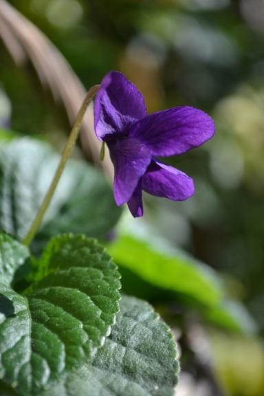 charmante violette