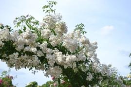 des roses sur l'arche de la Roseraie du Val de Marne