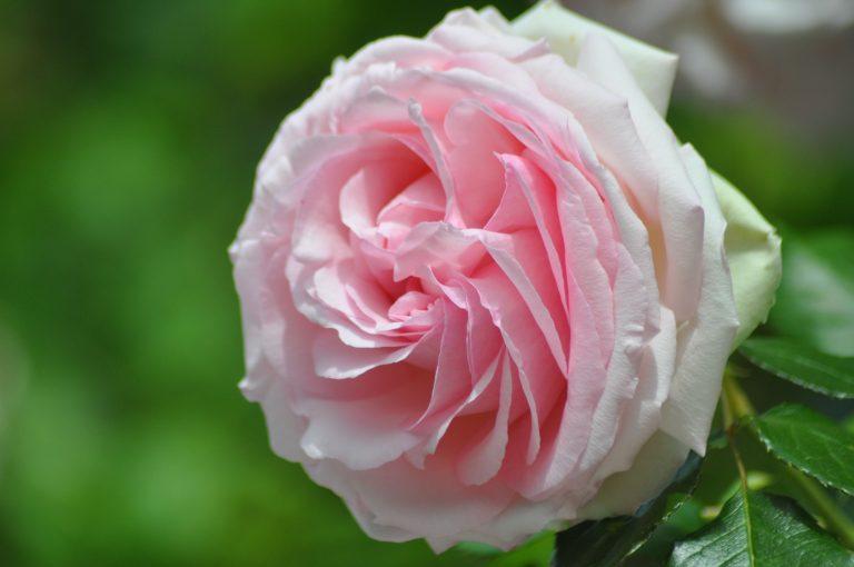 Grosse rose Ronsard