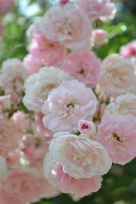 Roses La Fraicheur