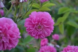 Roses parfum de l'Haÿ