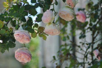 Passons sous les roses