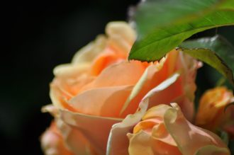 Polka abricot