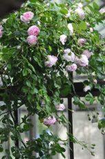 profusion de roses Jasmina