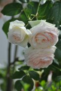 Rossard rose pale