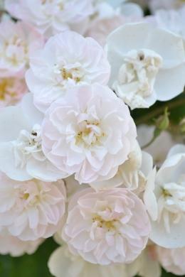 Rose pâle de la Roseraie du Val de Marne