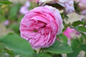 Insecte sur roses de la Roseraie du Val de Marne