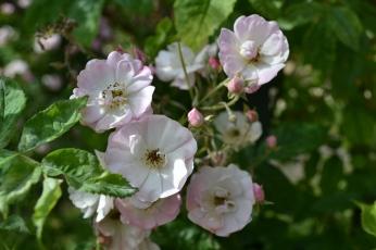 roses simples de la Roseraie du Val de Marne
