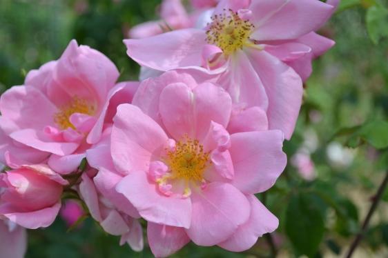 Roses de la Roseraie du Val de Marne