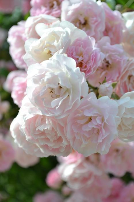 Roses La Fraicheur de la Roseraie du Val de Marne