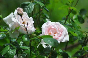 Roses New Dawn