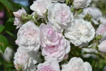 Roses pâles de la Roseraie du Val de Marne