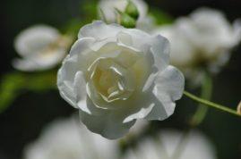 Zoom sur une rose Fée des Neiges