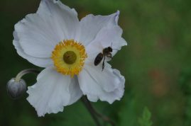 abeille-dreaming-swan