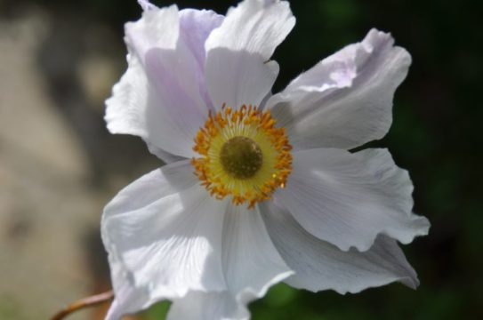 anemone-bleue-blanche