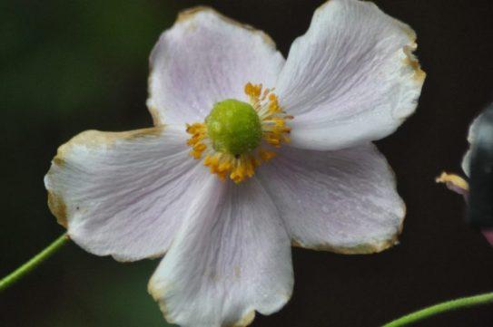 anemone-jardin
