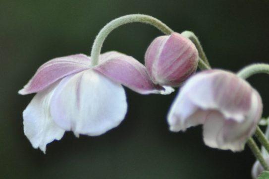 anemones-courbes