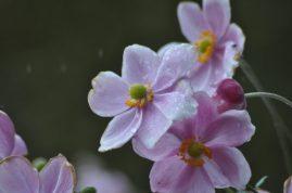 anemones-pluie