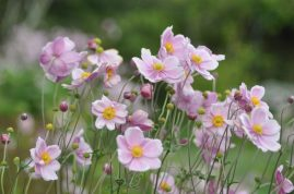 breteuil-anemones-2
