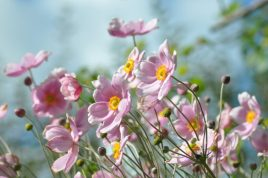 breteuil-anemones