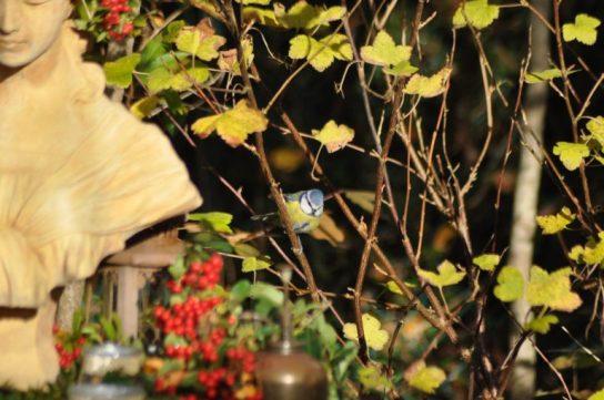 coucou mésange bleue