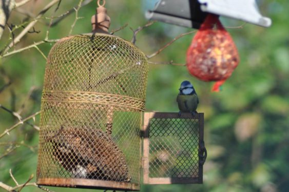 cage mésange bleue
