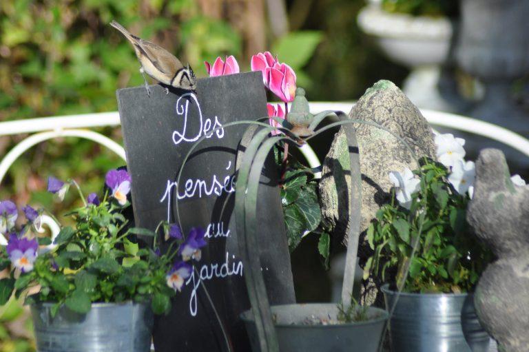 Mésange huppée chez des pensées au jardin
