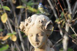 mésange bleue et Aurore