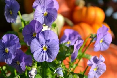 pensées au jardin en automne