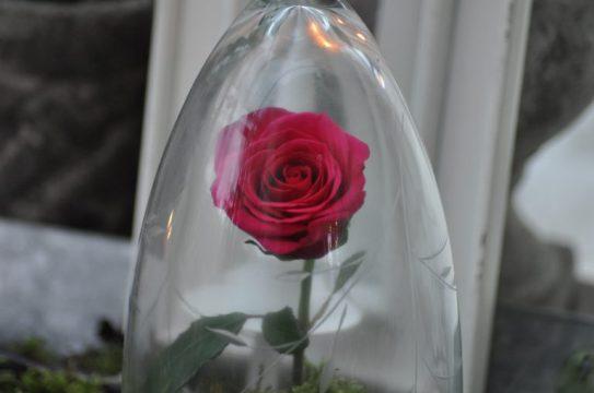 rose de l'amour