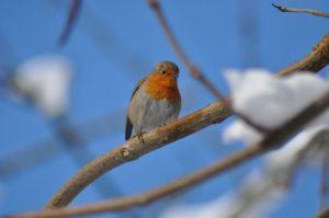 rouge-gorge jour de neige