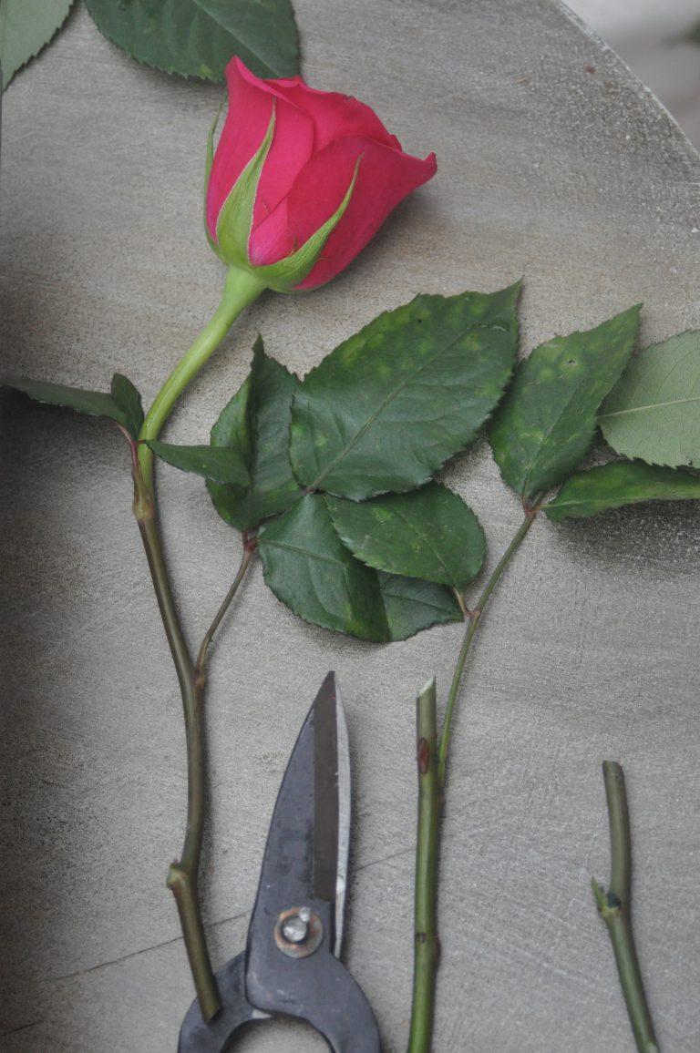 rose et ciseaux
