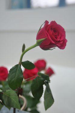 rose courbée