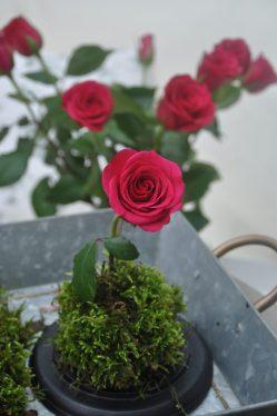 rose dans la mousse