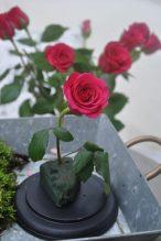 rose plantée dans le mousse