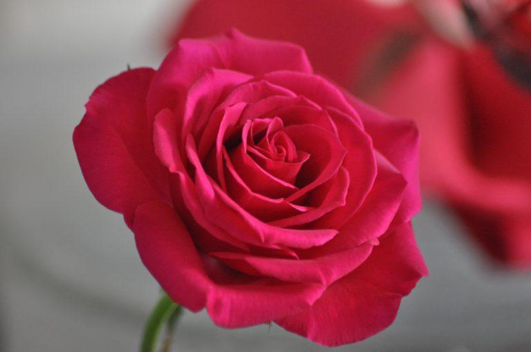 rose rouge épanouie